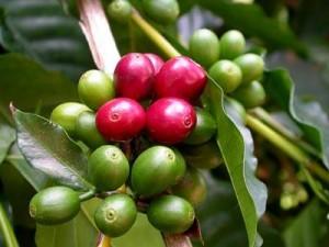 L'huile vierge de café vert bio