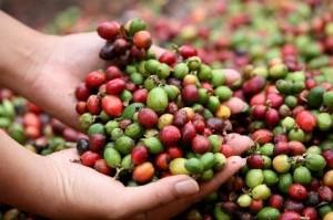 Le café vert bio, bon pour la santé