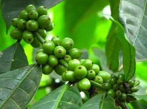 L'histoire du café bio